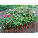 Mix Colour Rose Plant