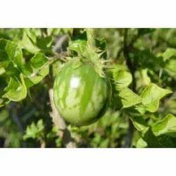 Kantakari / Solanum Xanthocarpum