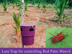 Coconut Trap For Controlling Red Palm Weevil (Rhynchophorus Ferrugineus)