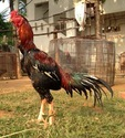 Aseel Knife Fighter Chicken