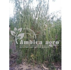 Drumstick Plants
