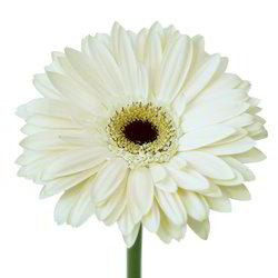 White Gerbera Daisy Flower