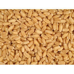 Feed Grade Wheat