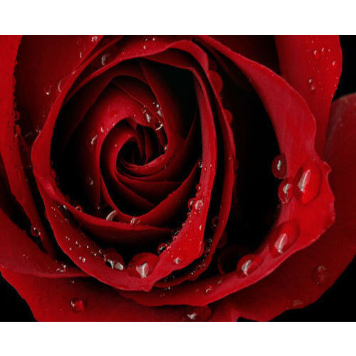 Red Rose Flower At Rs 25 Piece Rose Flower Id 15570546248