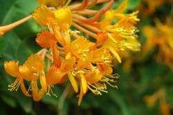 Orange Honey Suckle Water Soluble Fragrance