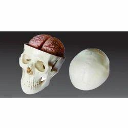8 Parts Brain Skull Model