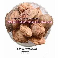 Badam Seed