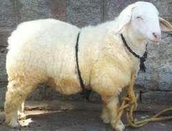 BANNUR SHEEP PDF