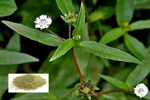 SD Herbs Bhringraj / False Daisy / Eclipta Alba - Herbal Extract Powder,  Packaging Type: Drum, Rs 600 /kilogram | ID: 21531288533