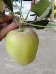 Anna Tropical Apple Plant