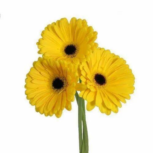 Yellow Gerbera Flower At Rs 4 5 Piece Gerbera Flower Id 19677972188