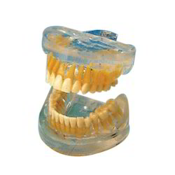 Transparent Adult Teeth Model