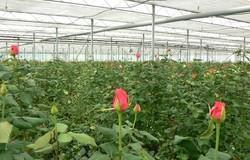 dutch Rose Grafted Plant in polyhouse
