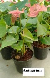 Anthurium Flowering Plants for Garden