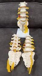 Lumbar Sacrum Bone Model