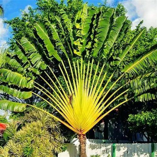 Palm Trees 3 4 Feet Rs 60 Piece