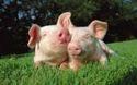 3 Month White Baby Piglet