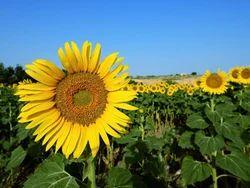 Sunflower Extract