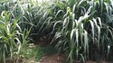 Hybrid Napier Grass CO5 Root slips or Stem Cuttings