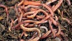 Vermicultural Earthworms