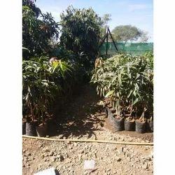 Mango Fruit Plant