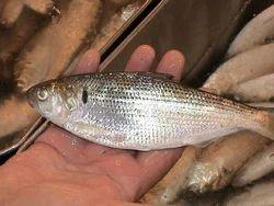 Gizzard Fish