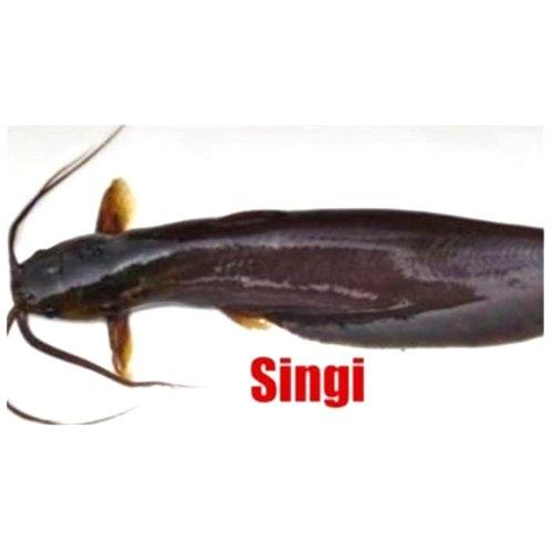 Singi Fish Seeds