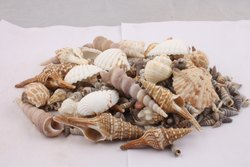 Decorative Shells