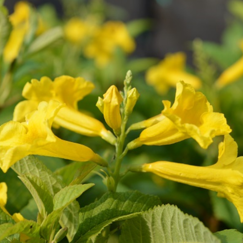 Yellow bells flower plant fresh flowers plants trees roses yellow bells flower plant mightylinksfo