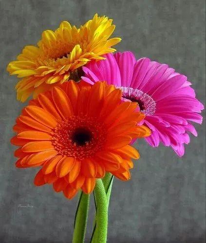 Red Yellow Gerbera Flower Frigate Group Id 20915969088