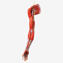 Muscles of Arm with Main Vessels & Nerves Models  GD/A11305