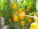 Yellow Capsicum Hybrid Seeds, Packaging Type: 10 Gm, Packaging Size: 10 Gm