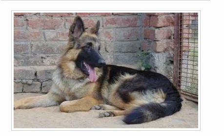 Banaras Dog Kennel, Varanasi - Service Provider of German