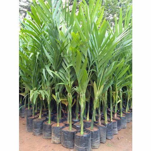Betel Nut Plants