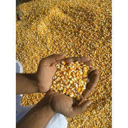 Yellow Natural Maize Grain, Pack Size: 15kg And 30kg And 150kg