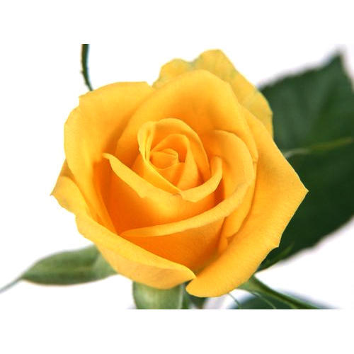 Yellow rose flower at rs 15 piece medavakkam hosur id yellow rose flower mightylinksfo