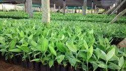 G 9 Banana Plant