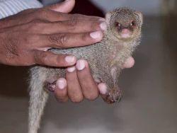 Wildlife Mongoose Rescue Service