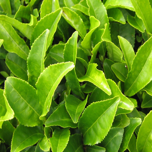 Green Tea Leaves Pack Size 500gms Rs 700 Kilogram Tvs Biotech Id 9414239188