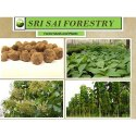 Tectonis Grandis Brown Teak Seed, For Agriculture, Pack Size: 25 Kg