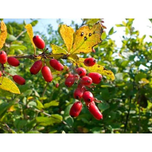 Pure Herbal Extracts - Birch Leaf Extract Manufacturer from New Delhi