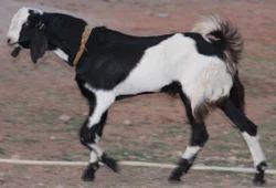 Qurbani Eid Goat