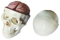 Skull with 8 Parts Brain Model