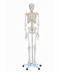 Human Skeleton 85 Cms. Models