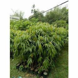 Ashoka Plant