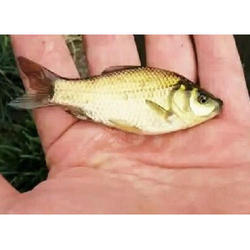 Spawn Grass Carp Fish