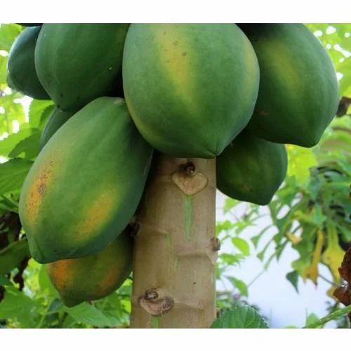 Fresh Papaya At Rs 20 Kilogram Papaya Fruit पपत Swastik