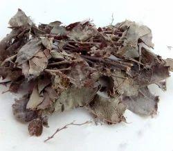 Salparni Plant - Shala - Shorea Robusta