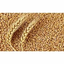 Marahashtra Indian Wheat Grain, Speciality: High in Protein
