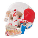 Classic Skull Opened Jaw 3-parts Painted